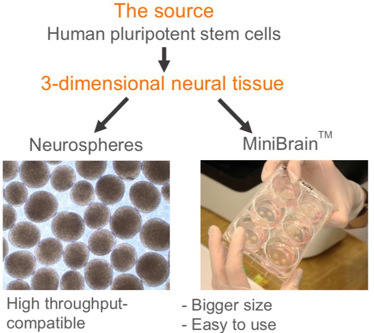 neural glial organoids